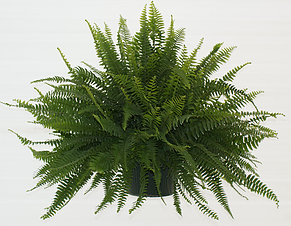 Boston Fern H:B